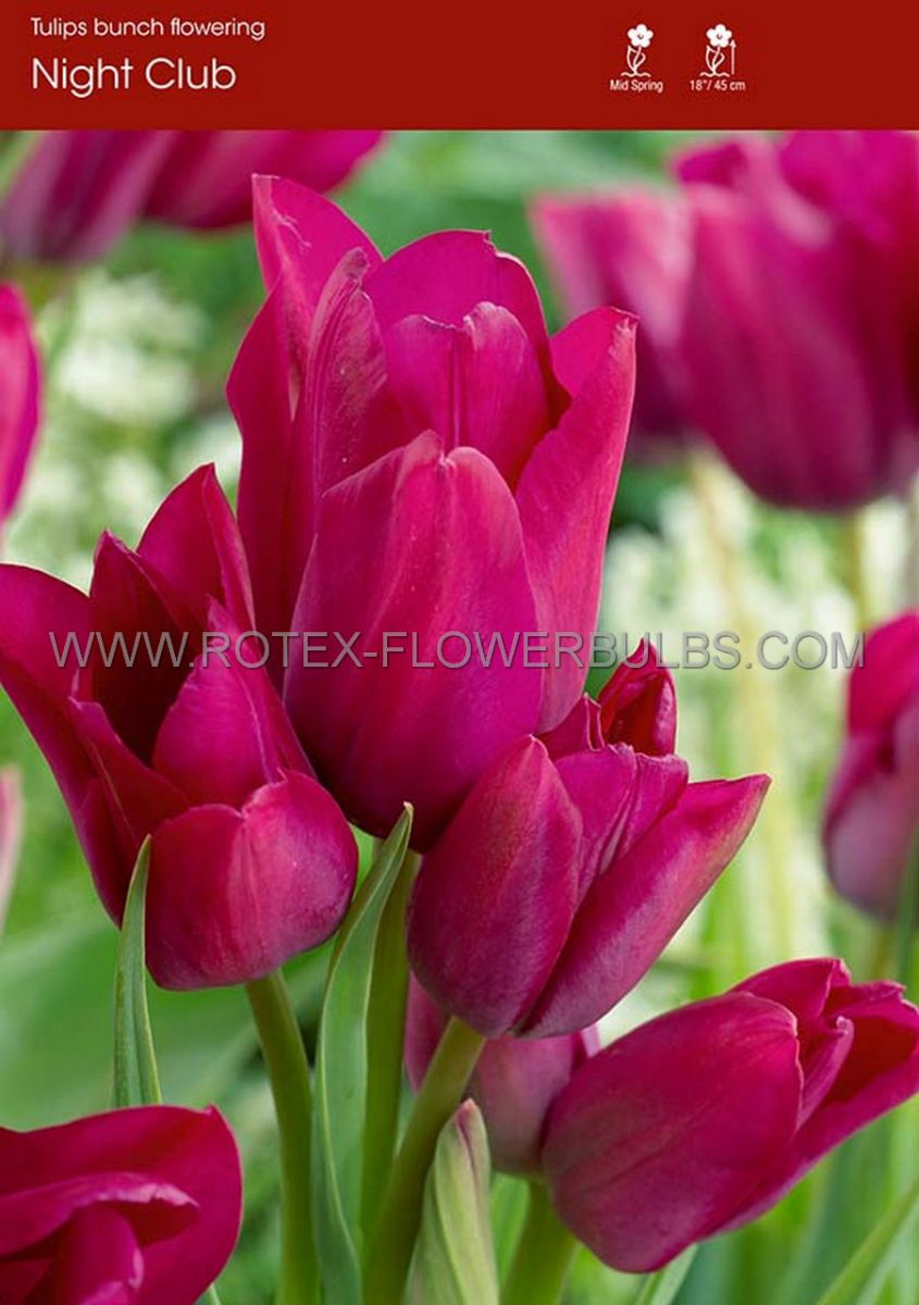 tulipa multiflowering night club 12 cm 100 pbinbox