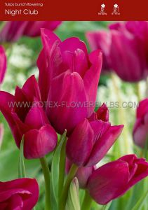 TULIPA MULTIFLOWERING 'NIGHT CLUB' 12/+ CM. (100 P.BINBOX)