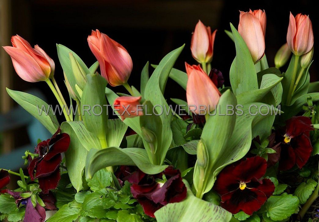 tulipa multiflowering toronto 12 cm 100 pbinbox