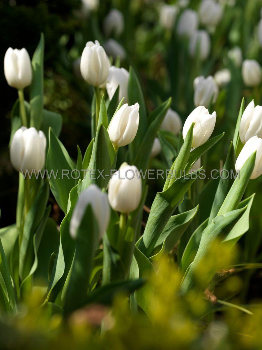 tulipa precooled triumph calgary 12 cm 100 pbinbox