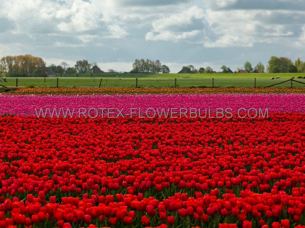 tulipa precooled triumph spryng 12 cm 100 pbinbox
