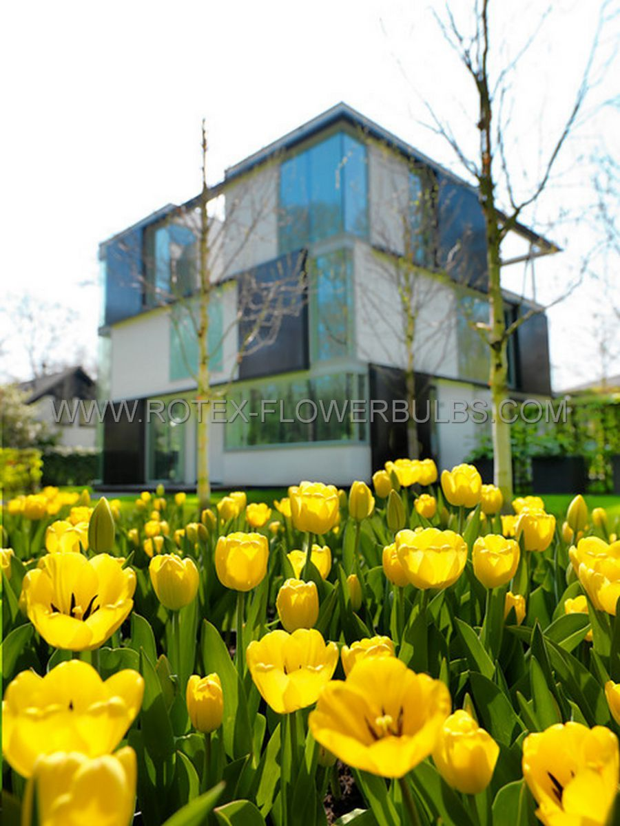 tulipa precooled triumph strong gold 12 cm 100 pbinbox