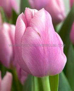 TULIPA SINGLE EARLY 'CHRISTMAS DREAM' 12/+ CM. (10 PKGS.X 10)
