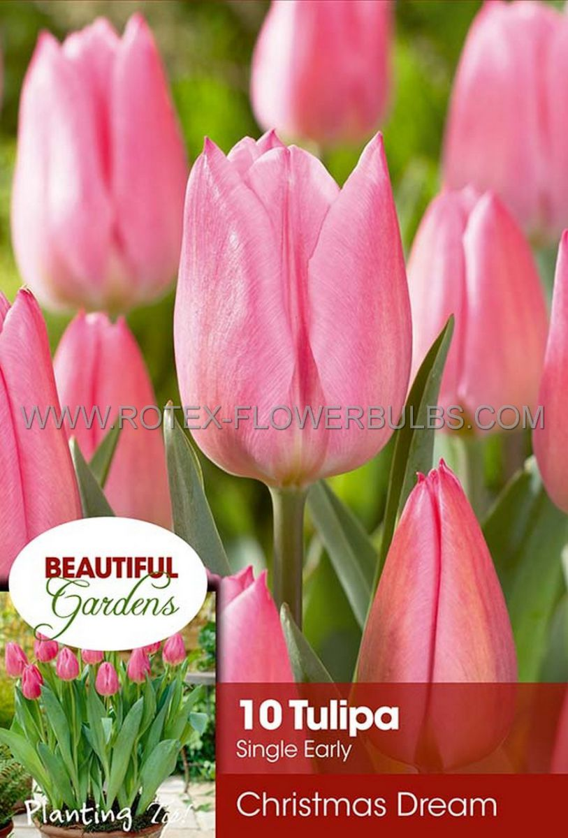 tulipa single early christmas dream 12 cm 10 pkgsx 10
