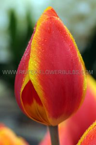 TULIPA SINGLE EARLY 'FLAIR' 12/+ CM. (100 P.BINBOX)