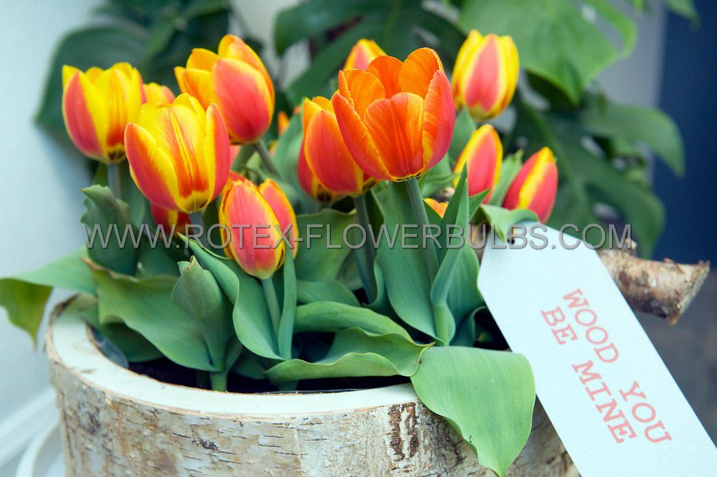 tulipa single early flair 12 cm 100 pbinbox