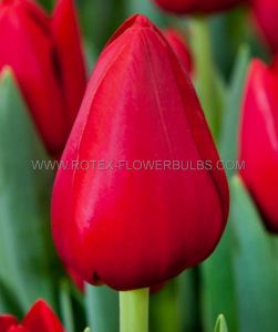 TULIPA SINGLE EARLY 'MERRY CHRISTMAS' 12/+ CM. (100 P.BINBOX)