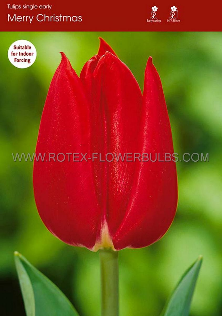 tulipa single early merry christmas 12 cm 100 pbinbox