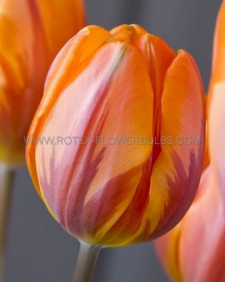 tulipa single early prinses irene 12 cm 100 pbinbox