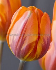 TULIPA SINGLE EARLY 'PRINSES IRENE' 12/+ CM. (100 P.BINBOX)