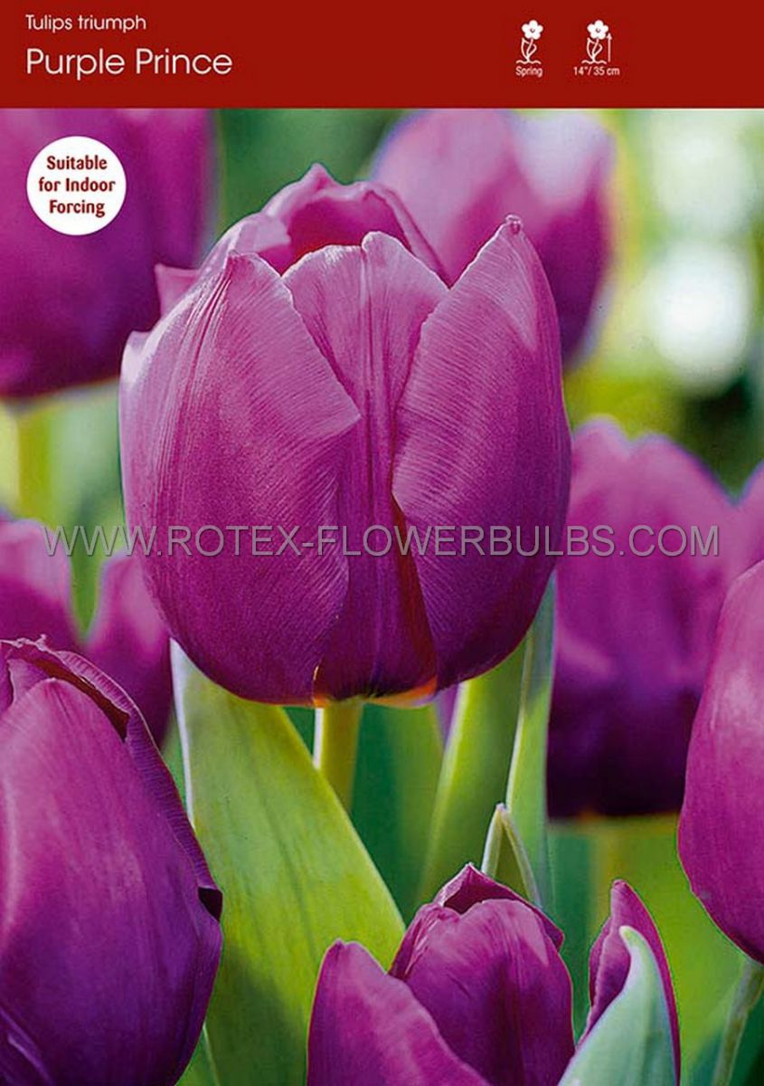 tulipa single early purple prince 12 cm 100 pbinbox