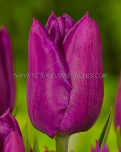 TULIPA SINGLE EARLY 'PURPLE PRINCE' 12/+ CM. (500 P.PLASTIC TRAY)
