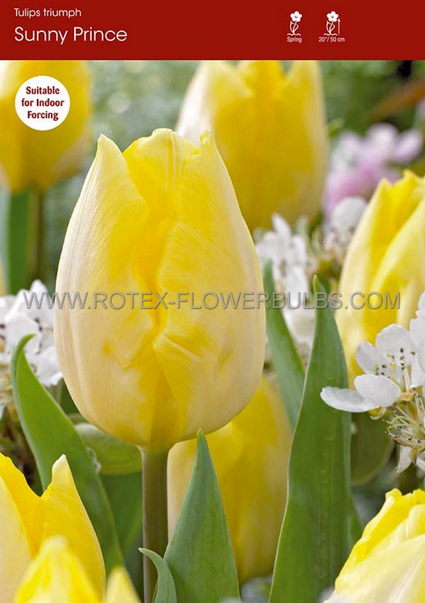 tulipa single early sunny prince 12 cm 100 pbinbox