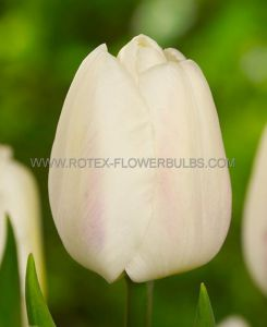 TULIPA SINGLE EARLY 'WHITE MARVEL' 12/+ CM. (100 P.BINBOX)