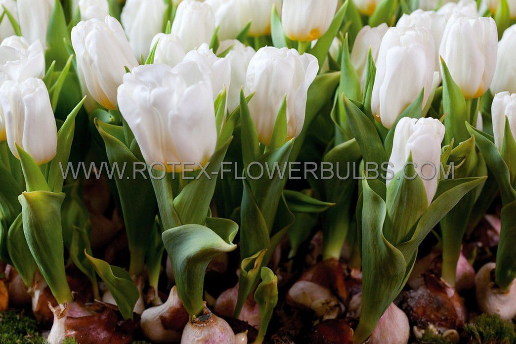 tulipa single early white marvel 12 cm 100 pbinbox