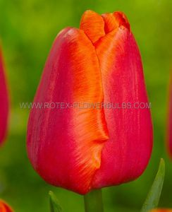 TULIPA SINGLE LATE 'AVIGNON' 12/+ CM. (100 P.BINBOX)