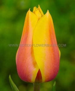 TULIPA SINGLE LATE 'BLUSHING BEAUTY' 12/+ CM. (10 PKGS.X 10)
