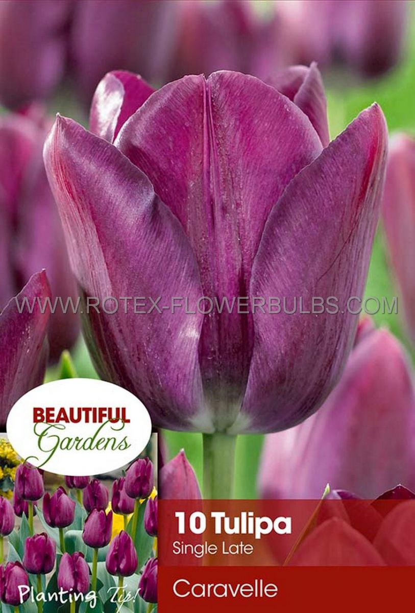 tulipa single late caravelle 12 cm 10 pkgsx 10
