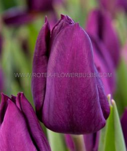 TULIPA SINGLE LATE 'CARAVELLE' 12/+ CM. (100 P.BINBOX)