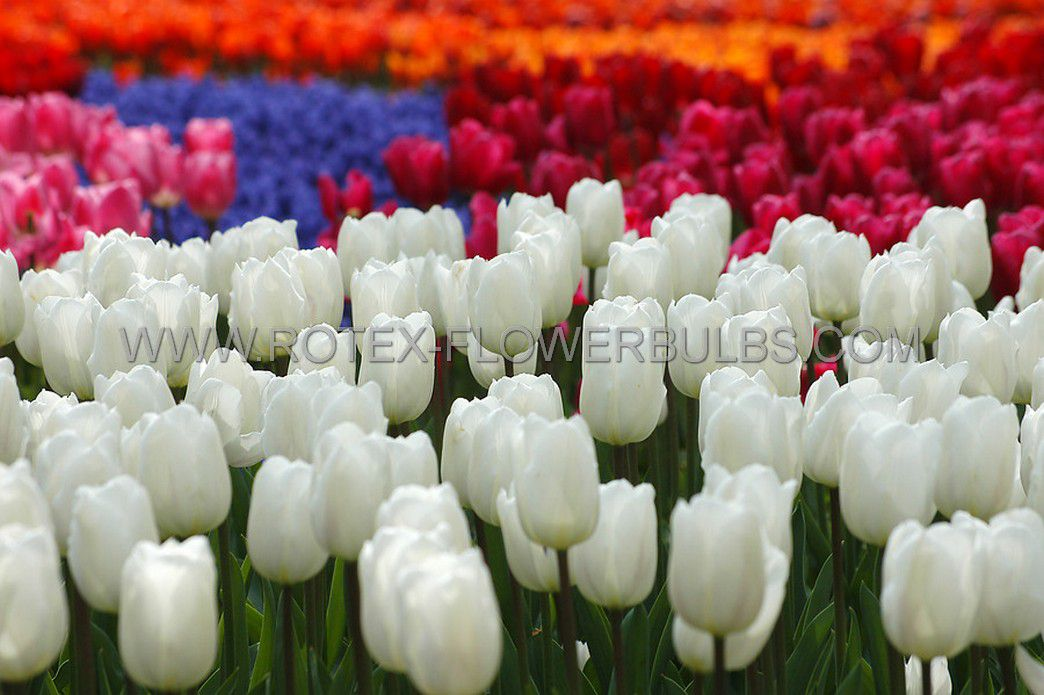 tulipa single late clearwater 12 cm 10 pkgsx 10