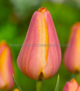 TULIPA SINGLE LATE 'DORDOGNE' 12/+ CM. (10 PKGS.X 10)
