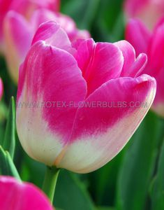 TULIPA SINGLE LATE 'DREAMLAND' 12/+ CM. (100 P.BINBOX)