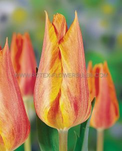 TULIPA SINGLE LATE 'EL NINO' 12/+ CM. (100 P.BINBOX)
