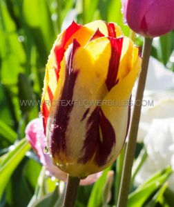 TULIPA SINGLE LATE 'HELMAR' 12/+ CM. (10 PKGS.X 10)
