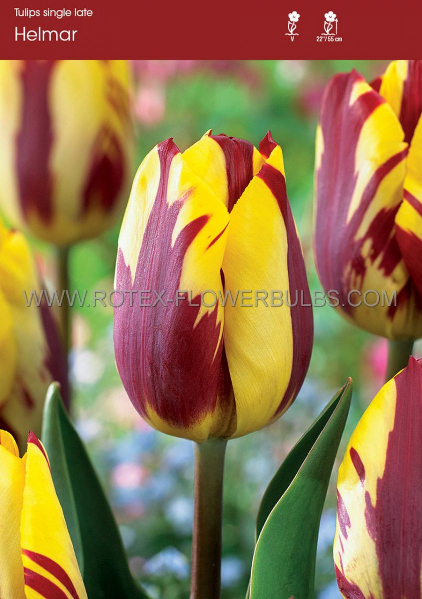tulipa single late helmar 12 cm 10 pkgsx 10