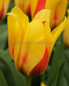 TULIPA SINGLE LATE 'HOCUS POCUS' 12/+ CM. (100 P.BINBOX)