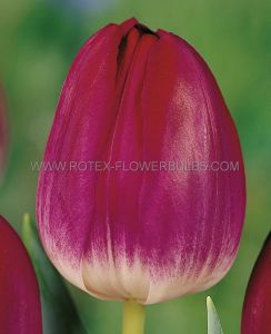 TULIPA SINGLE LATE 'KANSAS PROUD' 12/+ CM. (100 P.BINBOX)