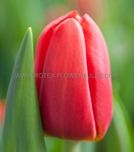 TULIPA SINGLE LATE 'KINGSBLOOD' 12/+ CM. (10 PKGS.X 10)