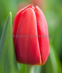 TULIPA SINGLE LATE 'KINGSBLOOD' SIZE 12/+ CM. (500 P.PLASTIC TRAY)