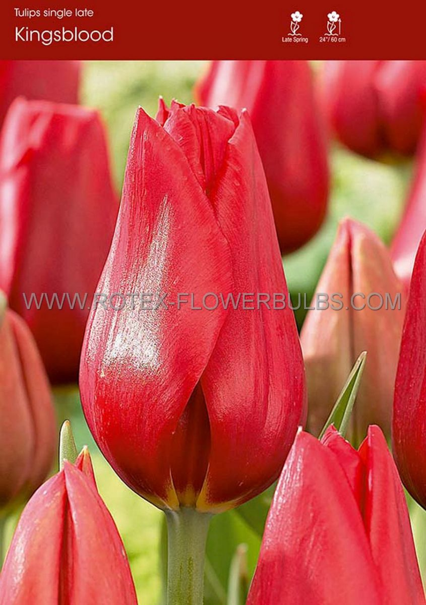tulipa single late kingsblood size 12 cm 500 pplastic tray