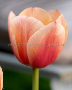 TULIPA SINGLE LATE 'MENTON' 12/+ CM. (10 PKGS.X 10)