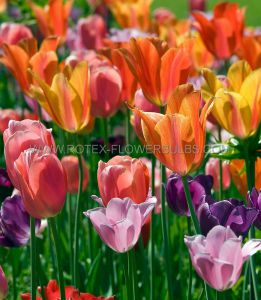 TULIPA SINGLE LATE 'MIX' 12/+ CM. (500 P.PLASTIC TRAY)