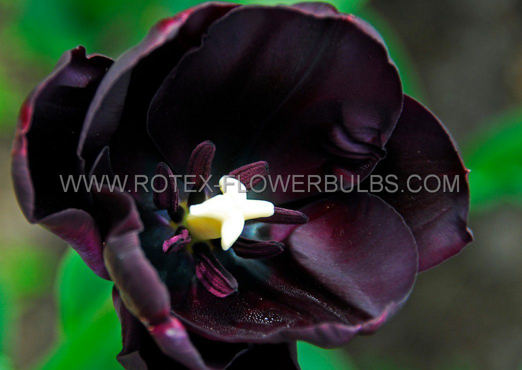 tulipa single late queen of night 12 cm 10 pkgsx 10