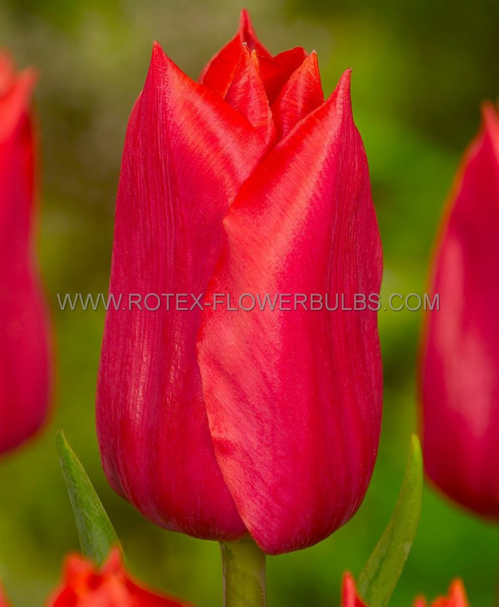 tulipa single late red proud 12 cm 10 pkgsx 10