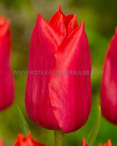 TULIPA SINGLE LATE 'RED PROUD' 12/+ CM. (100 P.BINBOX)