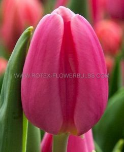 TULIPA SINGLE LATE 'RENOWN' 12/+ CM. (100 P.BINBOX)