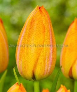 TULIPA SINGLE LATE 'RHAPSODY OF SMILES' 12/+ CM. (10 PKGS.X 10)