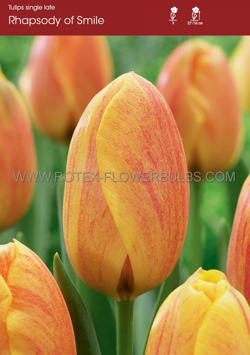 tulipa single late rhapsody of smiles 12 cm 10 pkgsx 10