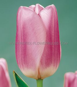 TULIPA SINGLE LATE 'SAUTERNES' 12/+ CM. (100 P.BINBOX)