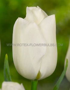 TULIPA SINGLE LATE 'WHITE PROUD' 12/+ CM. (10 PKGS.X 10)