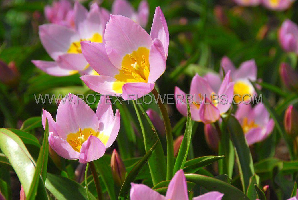 tulipa species bakeri lilac wonder 6 cm 10 pkgsx 10