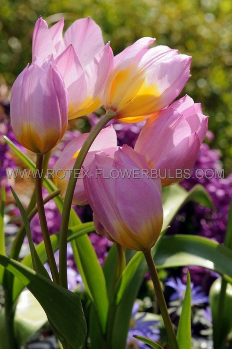 tulipa species bakeri lilac wonder 6 cm 100 pbinbox