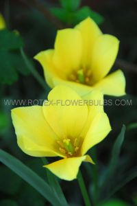 TULIPA SPECIES BATALINII 'BRIGHT GEM' 6/+ CM. (10 PKGS.X 10)