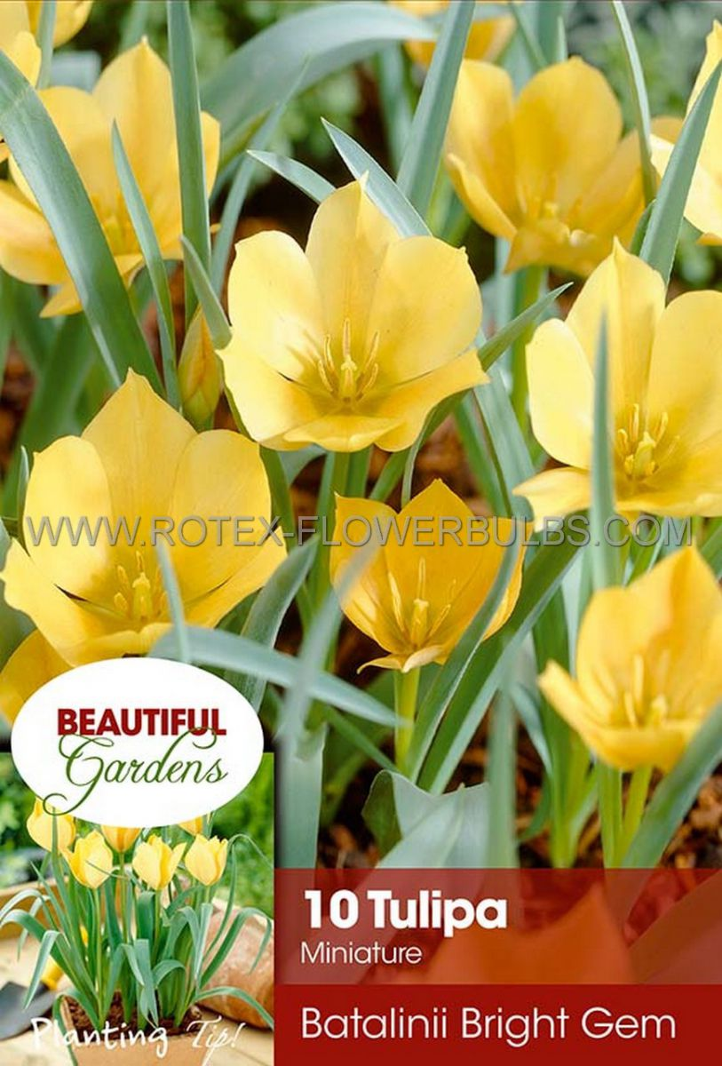 tulipa species batalinii bright gem 6 cm 10 pkgsx 10