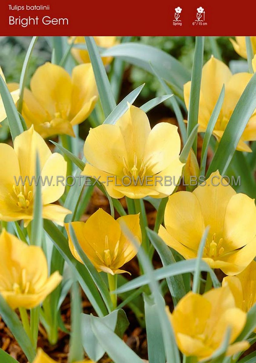tulipa species batalinii bright gem 6 cm 100 pbinbox