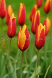 TULIPA SPECIES 'CHRYSANTHA' 6/+ CM. (10 PKGS.X 10)